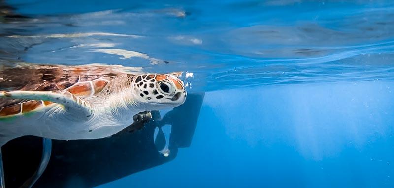 Jaz - Head Start Green Turtle - free in the ocean