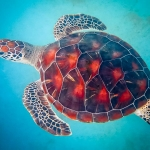 Jaz - Head Start Green Turtle (pool) [0754]
