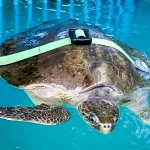 Kerry - Olive Ridley turtle, with weight balance