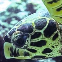 Maldives Turtle ID Programme - facial profile