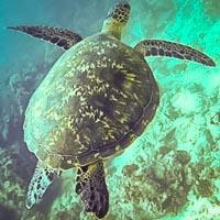 Maldives Turtle ID Programme - whole body