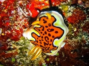Wikipedia – Marine Life of Baa Atoll (Goniobranchus gleniei) (Marine Research & Projects)
