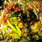 Wikipedia - Marine Life of Baa Atoll (Tambja affinis)