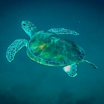 Green turtle Pat released into the wild