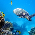 Hawksbill Turtle & butterfly fish on the reef