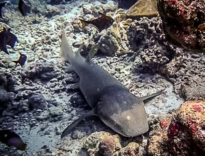 Tawny Nurse Shark (Nebrius ferrugineus) at rest