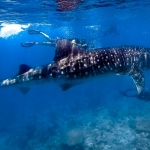 Whale shark swimming with guests (S.Ari Atoll, Maldives)