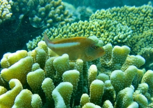 Wild reef - Pocillopora coral with arc-eye hawkfish [Paracirrhites arcatus]