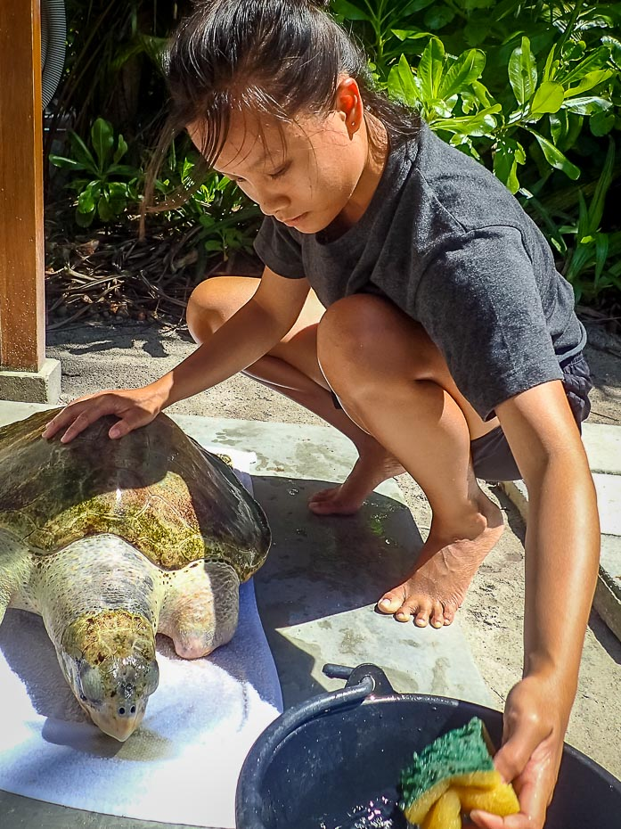 Cleaning Ossy the Olive Ridley Turtle