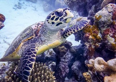 Wild Hawksbill turtle (HK159)