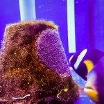 Fish Lab Clownfish with eggs