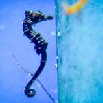 Fish Lab - Seahorse (Hippocampus kuda)