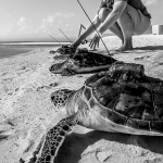 Green Turtles released with satellite tags
