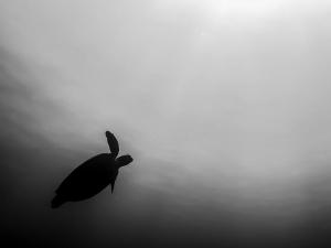 Green turtle silhouette (Monochromatic Marine Magic)