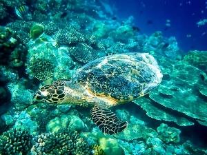 Hawksbill Turtle swimming near the reef at Madhirivaadhoo (Fishy Tales: from Lab to Aquarium to Ocean)