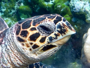Maldives National Sea Turtle ID Programme - right side facial scutes