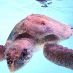 Olive Ridley turtle Ismile - in our pools