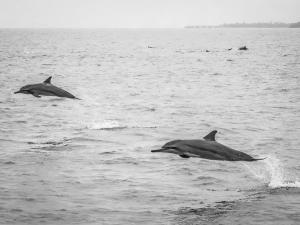 Spinner Dolphins close to Reethi Beach (Monochromatic Marine Magic)