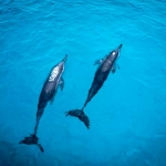 Spinner Dolphins breathing at the surface