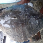 Treatment of Olive Ridley turtle Lefty - bacterial infection