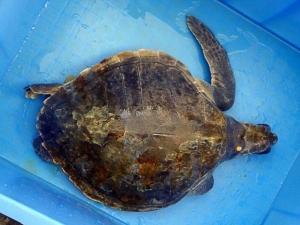Treatment of Olive Ridley turtle Lefty – iodine (Turtle Rescue & Rehabilitation)