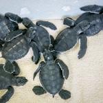 Head start turtle hatchlings, Kuda Huraa