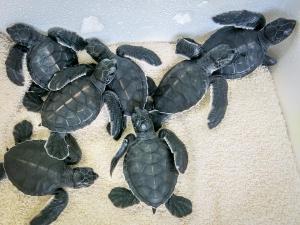 Head start turtle hatchlings (Sea Turtles – Rescues and Hatchlings)