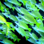 Bluestriped snapper school