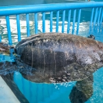 Buddy - rescued Olive Ridley turtle at Marine Savers Centre