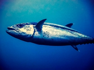 Dogtooth tuna (Join our Marine Biologist aboard the Four Seasons Explorer)