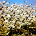 Humpback snapper school