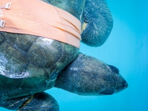 Maria – rescued Olive Ridley turtle in recovery (Olive Ridley Sea Turtles – Rescue & Rehabilitation)