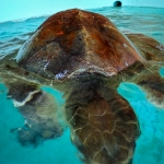 Rescued Olive Ridley turtle 'Bonita' - buoyancy problems