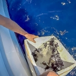 Turtle hatchlings - release into the channel