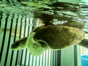 Adult male turtle in our recovery pools (Island Diary)
