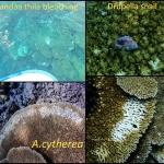 Coral bleaching at Landaa Thila