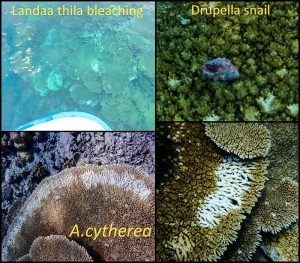 Coral bleaching at Landaa Thila (Reefscapers News)