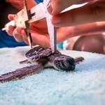 Green Turtle hatchling CM.100 upon admission - measurements