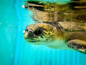 Olive Ridley Turtle 'Buddy' (Beth's Marine Biology Blog – chapter 2)