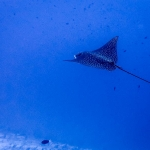 Safari - Spotted Eagle Ray