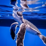 Green Turtle hatchlings - swimming free