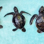 Turtle hatchlings - 3 different SIZES/AGES