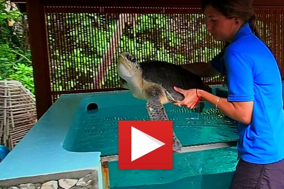Turtle News from Landaa Giraavaru