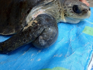 Kalo – rescued Olive Ridley turtle with abscess (Turtle News from Landaa Giraavaru)