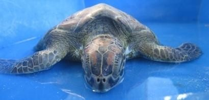 Rescue Green Turtle - Barney