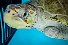 Rescue Olive Ridley Turtle - Elsa