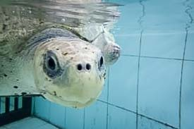 Rescue Olive Ridley Turtle - Peggy