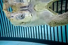 Rescue Olive Ridley Turtle - Zahiya