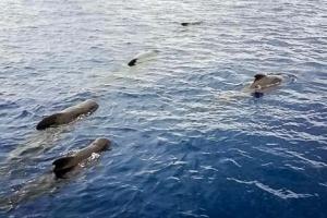 Short-finned pilot whales (Globicephala macrorhynchus) logging (Marine Biologists meet Marine Life)