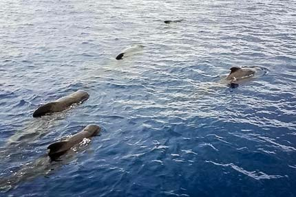 Short-finned pilot whales (Globicephala macrorhynchus) logging